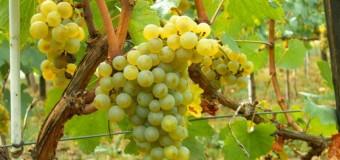 Καταστροφή αμπελοκαλλιεργειών στις περιοχές Δάφνη, Καστράκι, Κούτσι Νεμέας και Στιμάγκα Κορινθίας